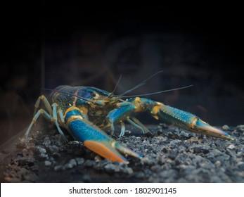 Phylum Arthropoda. Rainbow Redclaw Crayfish Yabby (Cherax quadricarinatus) guarding in aquarium glass fish tank on black background.