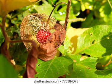 Physalis fruit in it's husk in the middle of the forest vegetation