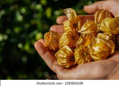 Physalis Inca golden berries in hands closeup