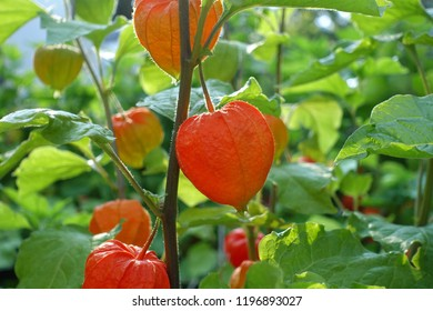 physalis plants in autumn, red lanterns