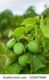 Physic nut, Purging nut or Barbadose nut (Jatropha curcas L.) agriculture farming, fruitage in the trees. Vegetable oil refining, vegetable oil fuel. Biofuel. Landscape farming.