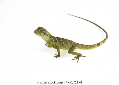 Physignathus cocincinus - a juvenile Chinese water dragon sitting on a white background.