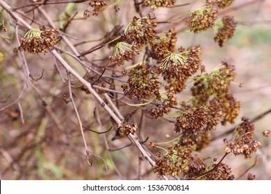 Physocarpus  branches with fruits in autumn close-up. Physocarpus opulifolius. Rosaceae Family. Copy space