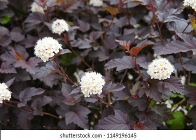 Physocarpus opulifolius diabolo or ninebark foliage with white flowers