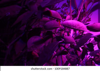 Phytolamp ( agrolamp ) illuminates tropical citrus trees at the window during winter time. Special lighting continuation daylight