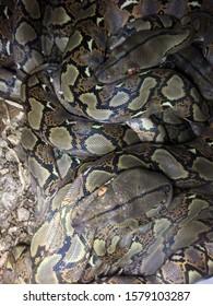 Phyton reticulatus, from Indonesia nature  - Shutterstock ID 1579103287