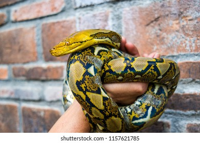 Phyton Snake in Hand