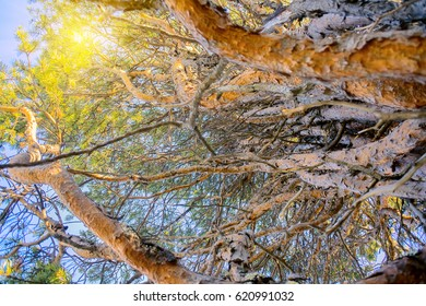 Phytopathology. Intertwining of trunks and branches of pine. Pine tree had fungal disease. Illuminated by sun at sunset on bark