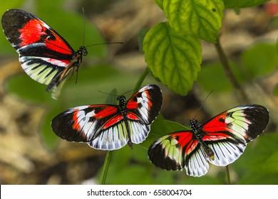 Piano key butterflies frolicking