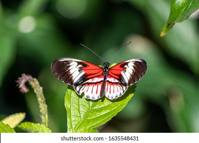 Piano Key Butterfly Heliconius melpomene and erato the red postman butterfly, common postman or simply postman, is a brightly colored crimson neotropical found throughout Mexico and Central America