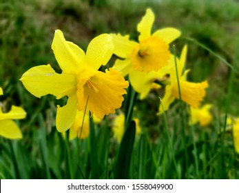 pic of beautiful daffodil in the morning