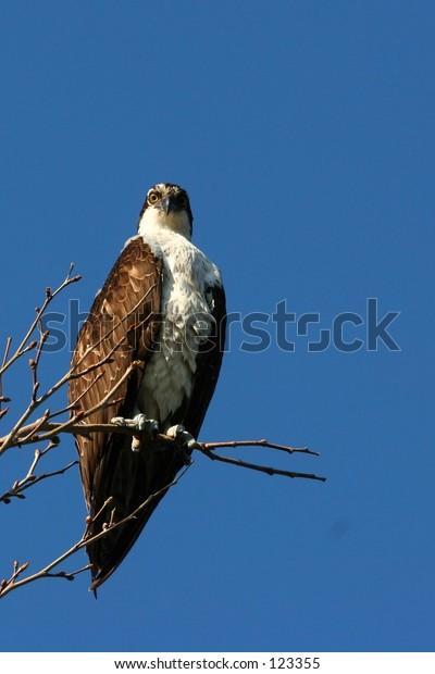 Pic of a hawk in Long Beacj, California
