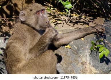 Pic Of Monkey Sitting On Rock Looking Upwards