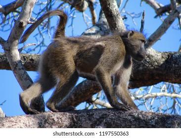 Pic Of Monkey Walking Along Tree Branch Against Blue Sky