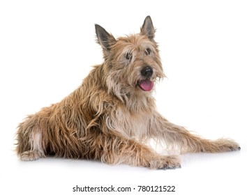 picardy shepherd in front of white background