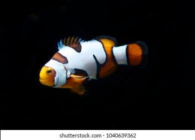Picasso Designer captive breed clownfish
