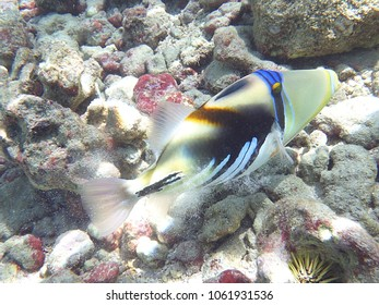 Picasso fish on the coral reefs in Hawaii