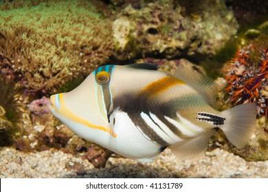 Picasso or Humu humu Trigger fish