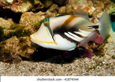 Picasso Trigger fish in Aquarium