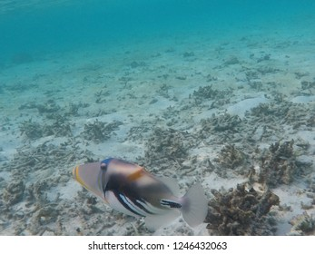 The Picasso Triggerfish under the sea, Raa Atoll of Maldives