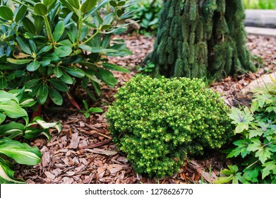 """Picea abies """"Little Gem"""", rare dwarf conifer, planted in garden with picea abies """"Inversa"""" and rhododendron"""