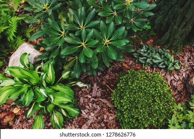 """Picea abies """"Little Gem"""", rare dwarf conifer, planted in garden with picea abies """"Inversa"""" hosta and rhododendron"""