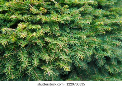 Picea abies nidiformis green tree brances