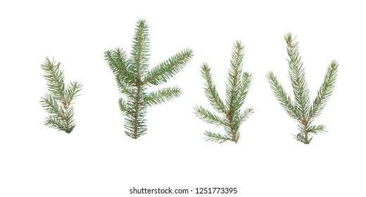 Picea abies, spruce isolated on a white background