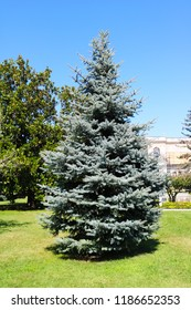 Picea pungens Glauca. Lonely in the garden