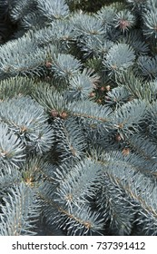 Picea pungens Hoto