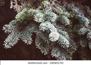 Picea tree branches frozen with morning mist. White branches closeup . -Vitage retro film look.