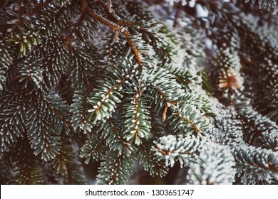 Picea tree branches frozen with morning mist. White branches. -Vitage retro film look.