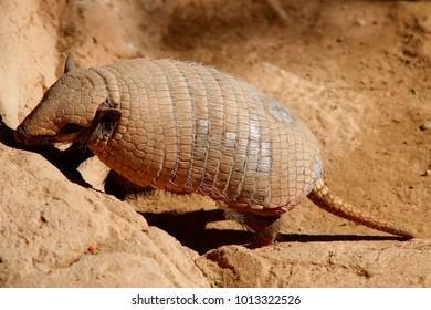 Pichi (Zaedyus pichiy) or dwarf armadillo