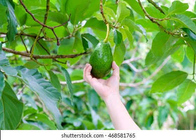 Pick Avocado in the tree