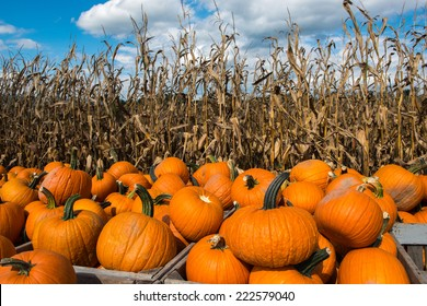 Picked pumpkins ready for the fall and autumn season of Halloween and Thanksgiving.