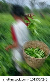 Picker plucking leaves of Assam Orthodox Tea, Assam Tea Garden grown in lowland and Brahmaputra River Valley, northeast India.