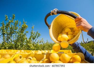 Picker at work unloading his pail full of lemons into bigger fruit boxes