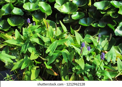 Pickerel weed plants (pontederia cordata) in a pond. Nature background.