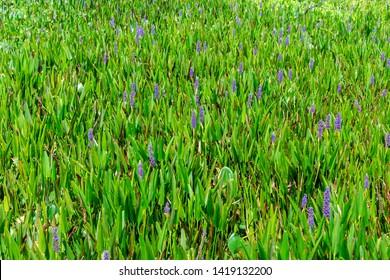 Pickerelweed (Pontederia cordata) - Davie, Florida, USA