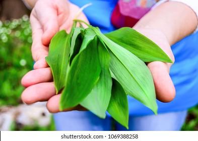 Picking Allium ursinum - known as ramsons, buckrams, wild garlic, broad-leaved garlic, wood garlic, bear leek, or bear. Wild garlic leaves in the palm of hand