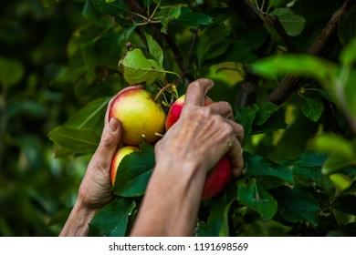 Picking appels in the garden