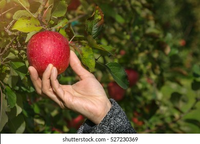 Picking Apple in Orchard by Hand, Organic Fresh fruit from Farm or Harvest Tour concept