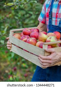 Picking apples. Closeup of a crate with apples. A man with a full basket of red apples in the garden. Organic apples.