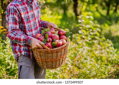 Picking apples. A man with a full basket of red apples in the garden. Organic apples. Approving Gestures Stock Photos.