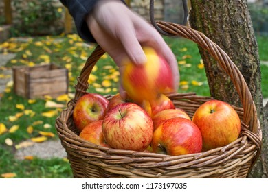 Picking of apples.Red apples are in the wicker basket.