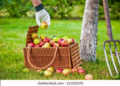Picking apples to wicker basket in orchard