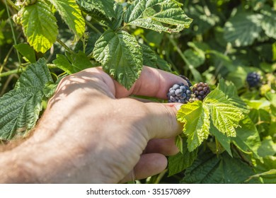 Picking blackberries with his left hand