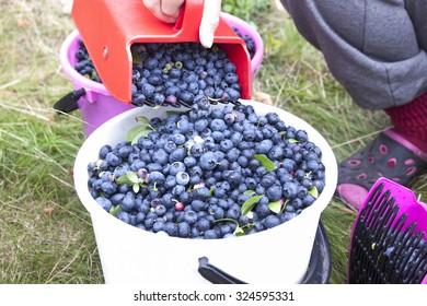 Picking Bush whortleberries, vaccinium corymbosum
