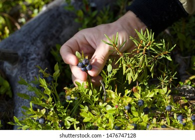 Picking common bilberry (vaccinium myrtillus). Season: Summer 2019. Location: Western Siberian taiga.