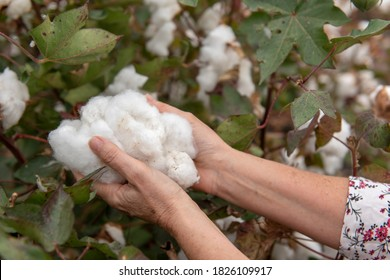 Picking the cotton crop by hand